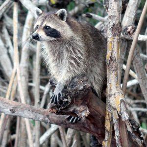 raccoon-4277711_1920