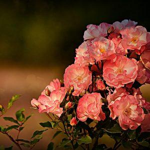 rose-3975881_1920